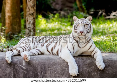 white tiger sitting  in the zoo - stock photo