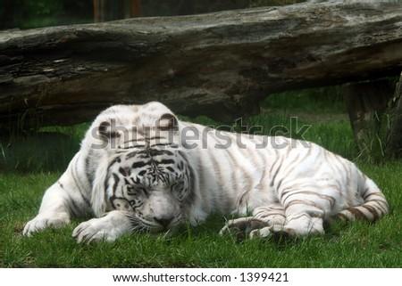 white tiger sleeping on a grass - stock photo