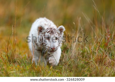 white tiger slowly approaching the prey - stock photo