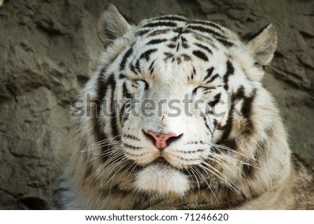 White tiger smiling