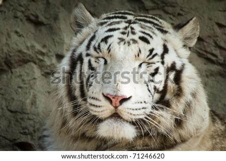 White tiger smiling - stock photo