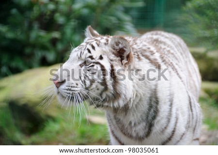 White tiger stalking its prey - stock photo