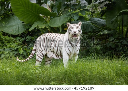 White tiger standing  in a green garden. White tiger in the zoo. - stock photo
