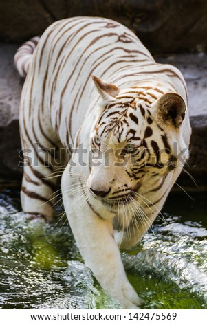 White Tiger standing in water - stock photo