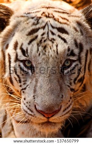 White Tiger Stare - stock photo