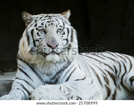 White Tiger Staring Straight At You - stock photo