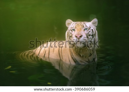 White tiger symbol of  success - stock photo