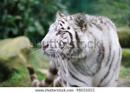 White tiger wags it tail in agitation - stock photo