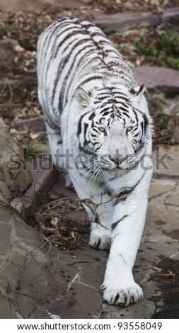 White tiger walking and staring with its green eyes - stock photo