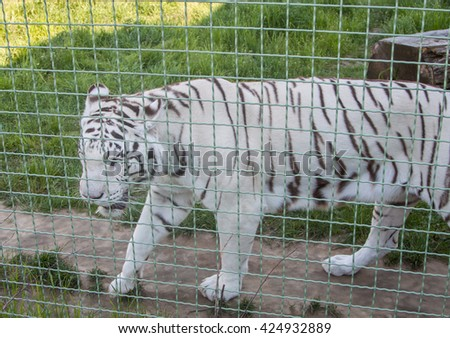 white tiger walking in zoo - stock photo