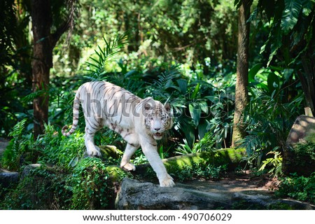White tiger walks in green tropical forest jungle