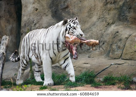 White tiger with a piece of meat in the mouth in zoo - stock photo