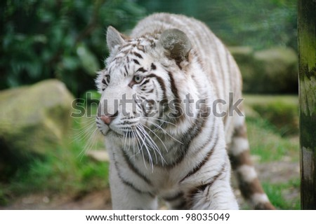 White tiger with eyes wide open - stock photo