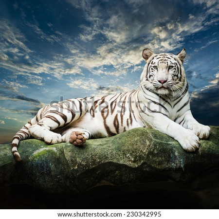 white tiger with sky background - stock photo