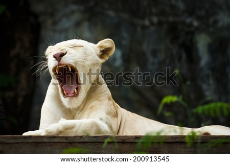 White Tiger yawn and lying on wooden in Zoo, Close up shot - stock photo