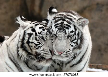 White tigers - stock photo