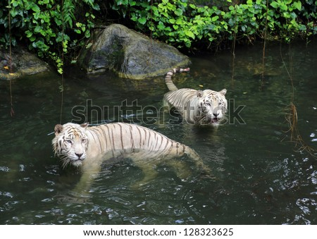 White tigers in the river