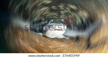 White tip reef shark - stock photo