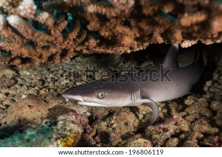 White tip reef shark resting under table coral - stock photo