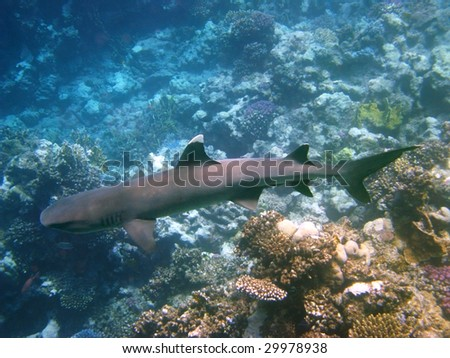 White-tip shark and coral reef - stock photo