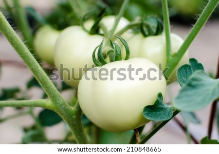 White tomato growing in greenhouse in garden - stock photo