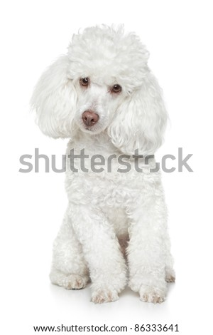 White Toy Poodle sits on white background