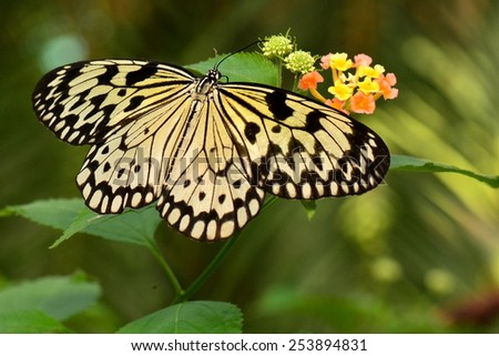 White tree nymph butterflies feed at the garden buffet. - stock photo