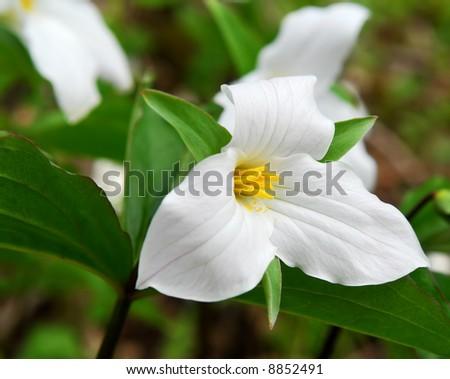 White Trillium blooming in woodlands Ontario provincial flower - stock photo