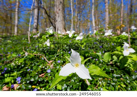 White Trillium in forest - A large bed of white trillium spreads itself across the woodland floor. Spread by rhizomes they bloom in the forest during springtime. - stock photo
