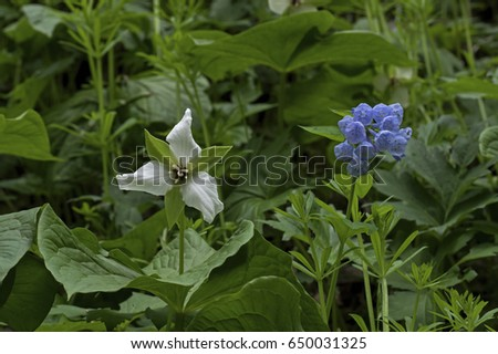 Virginia bluebell blossom stock images royalty free images white trillium or trilliaceae and mertensia virginica or virginia bluebell which is a spring ephemeral plant mightylinksfo Gallery