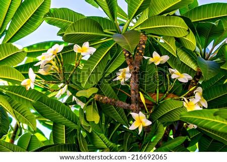 White tropical flowers (Plumeria, Frangipani) - stock photo