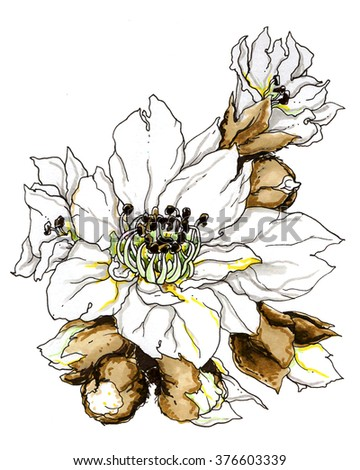 White tropical loquat plant in blossom. Vibrant hand drawn exotic watercolor flowers on white background. Botanical illustration. Chinese and Asian typical food and flower for jam.  - stock photo