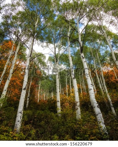 White trunk aspens against autumn colors/ Rainbow of Colors - stock photo