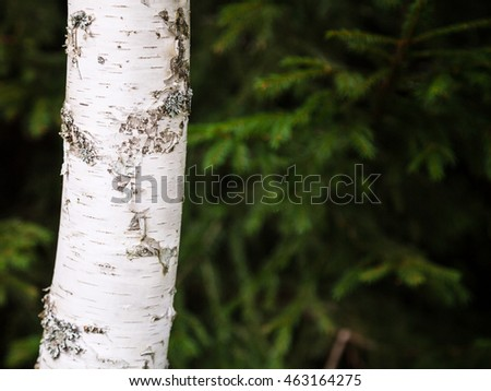 white trunk of birch tree and blurred green spruce trees on background