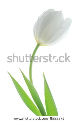 white tulip against white background - stock photo