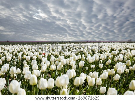 white tulip field  - stock photo
