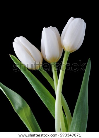 White tulip flowers on black background stock photo royalty free white tulip flowers on the black background mightylinksfo