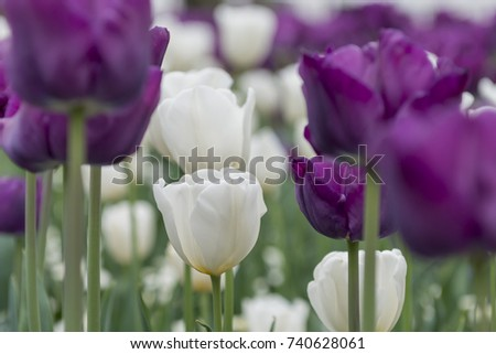 White Tulip mixed with Purple Double Tulips - horizontal version