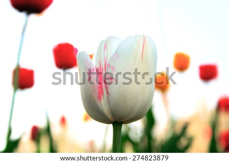 White tulip on a white blured background - stock photo