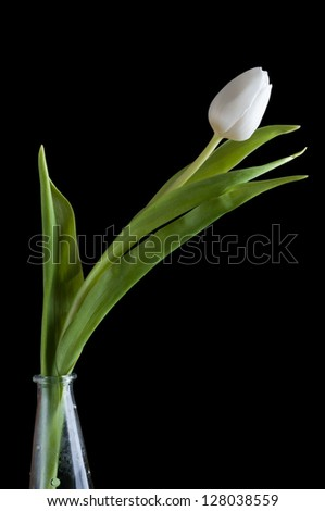 White tulip on black background