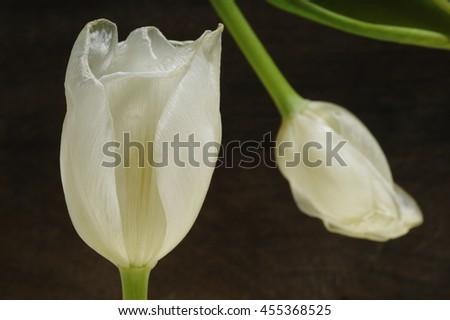 white tulip on wooden background - stock photo