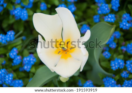 white tulip surrounded by blue flowers - stock photo