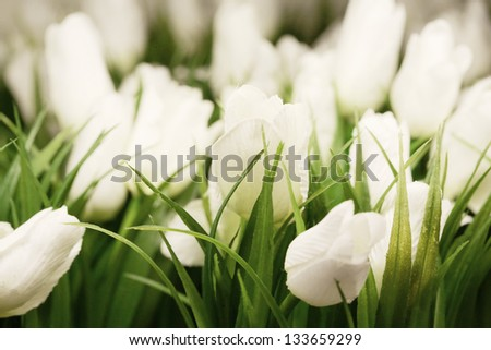 white tulips. - stock photo