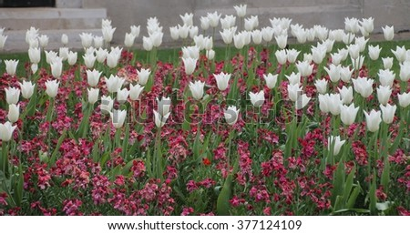 white tulips and pink flowers in park in London, UK - stock photo