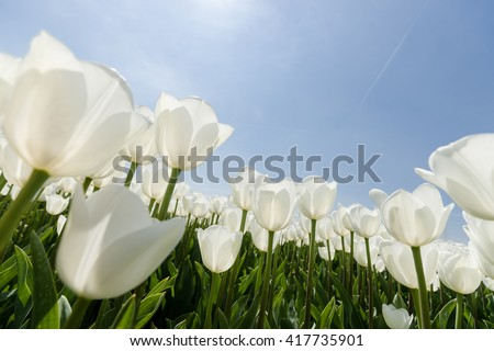 White tulips flowers growing over blue sky background. Wide angle view with sunny flair, photographed from below.