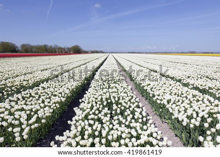 white tulips in colorful landscape of noordoostpolder with blue sky - stock photo