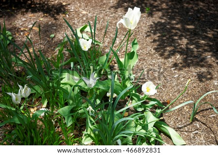 White tulips were photographed in Washington D.C., USA. Flowers can be seen around the whole city. They are very common in Washington D.C., plenty of flowerbeds can be found.
