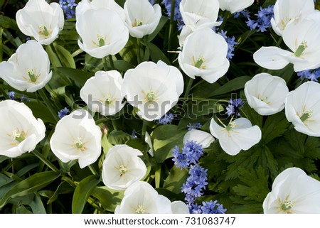 White tulips blue bell shaped flowers stock photo royalty free white tulips with blue bell shaped flowers and green foliage mightylinksfo