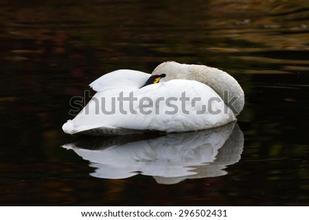 White Tundra Swan, migratory bird close up - stock photo