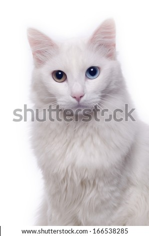 White turkish angora cat with different eyes